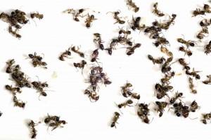 Matar Formigas